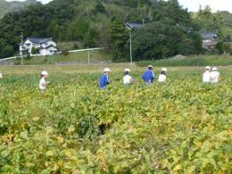 10.19大豆収穫 (1).JPG